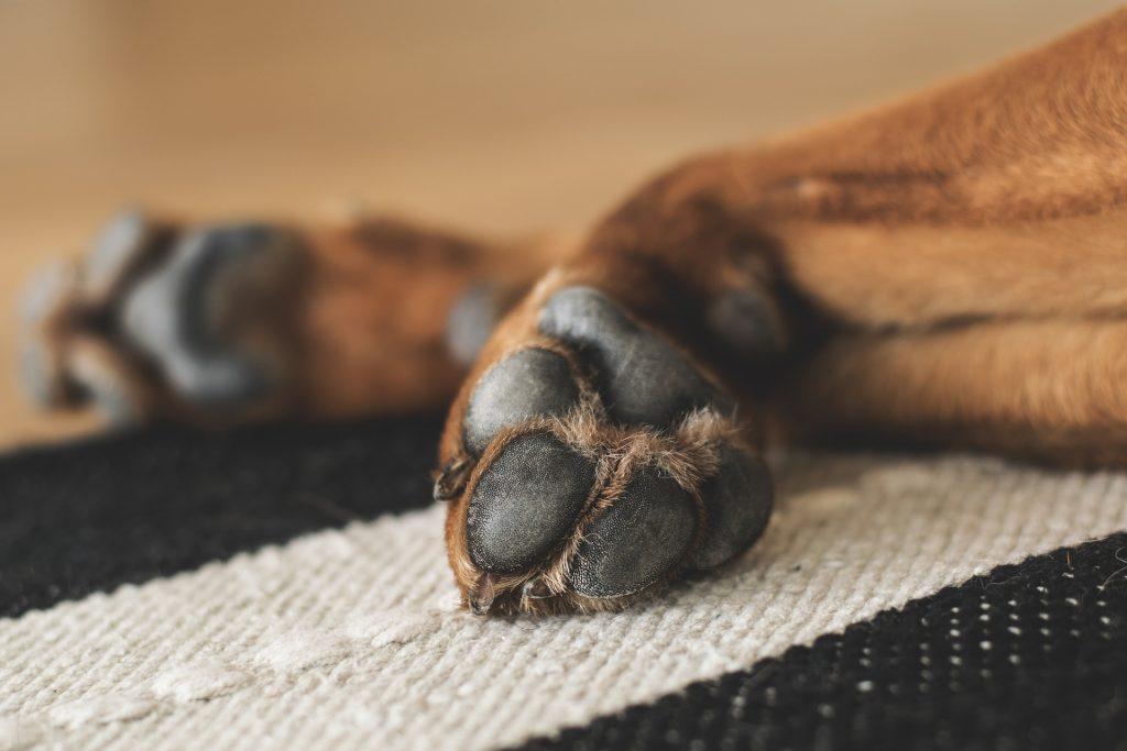 disinfettare zampe dei cani