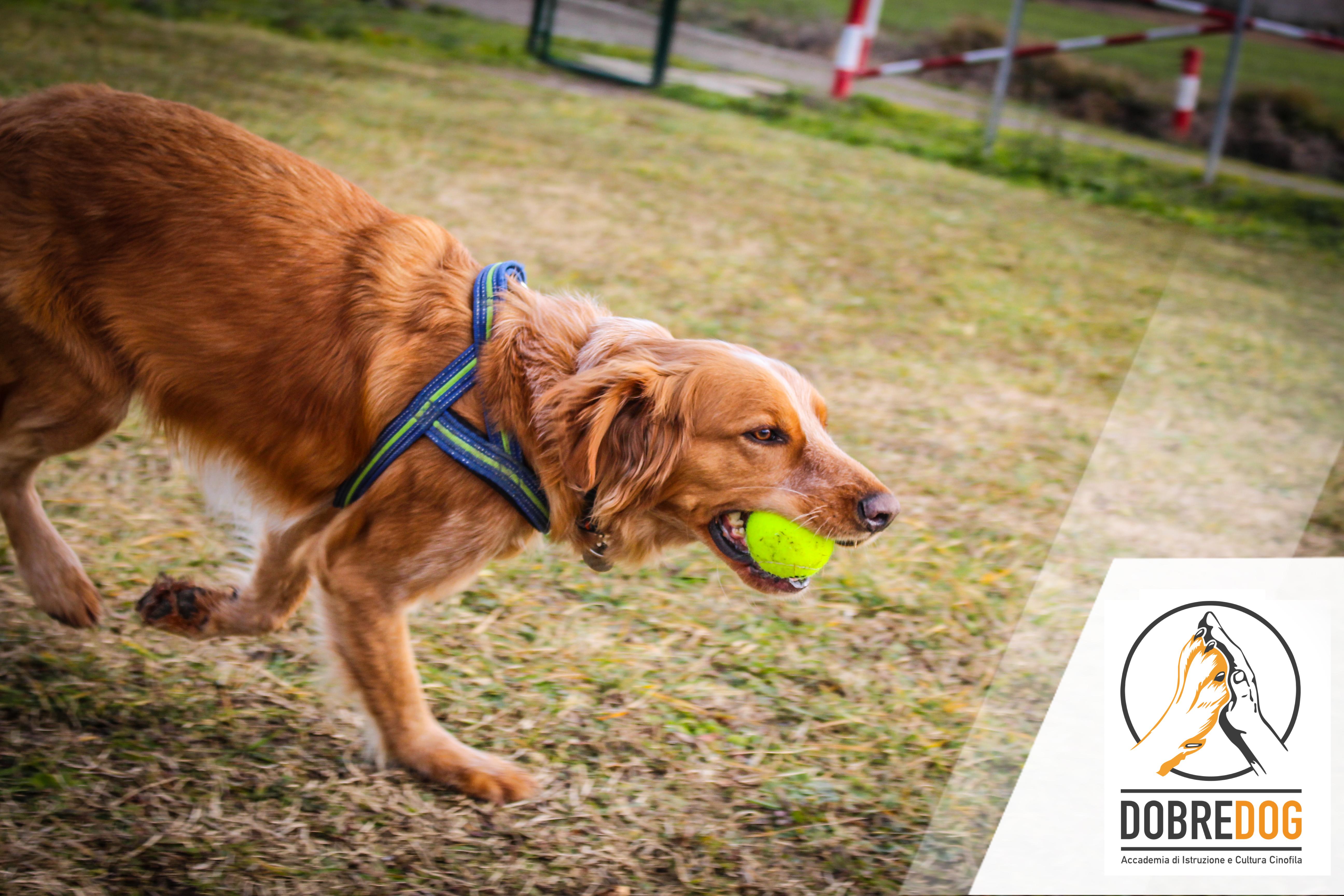 Cane con pallina tennis in bocca nel campo del centro cinofilo Dobredog.