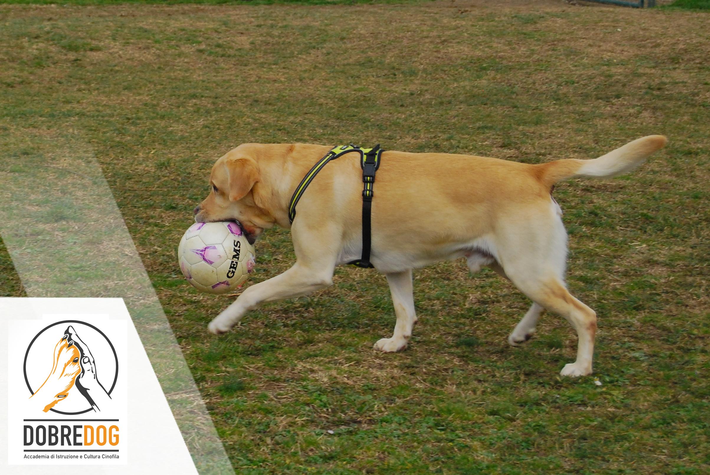 labrador che gioca con palla nel campo del centro cinofilo dobredog