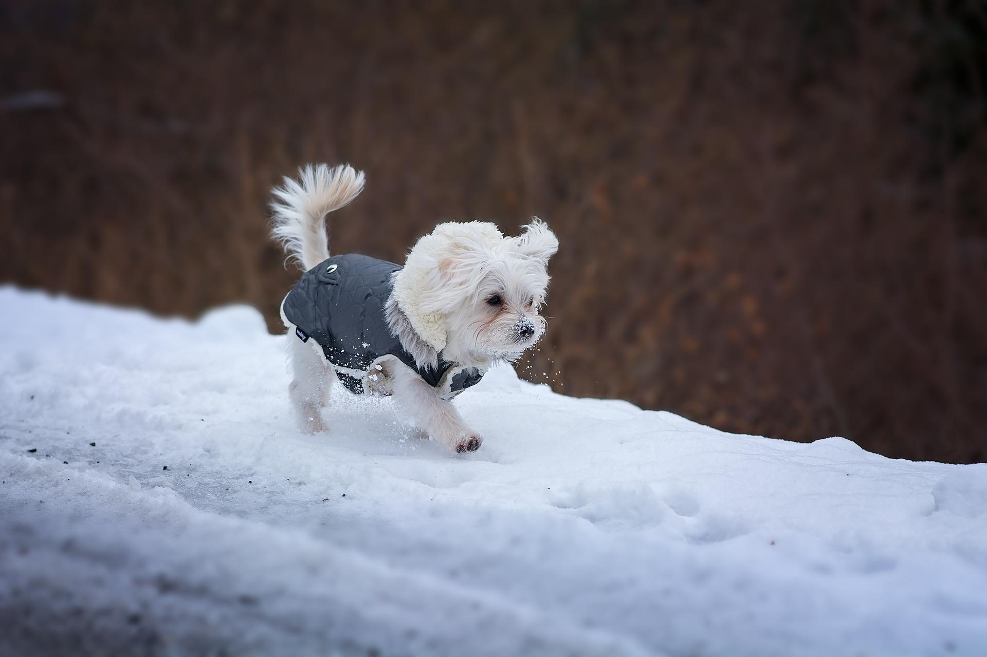 Cagnolino bianco che cammina sulla neve.