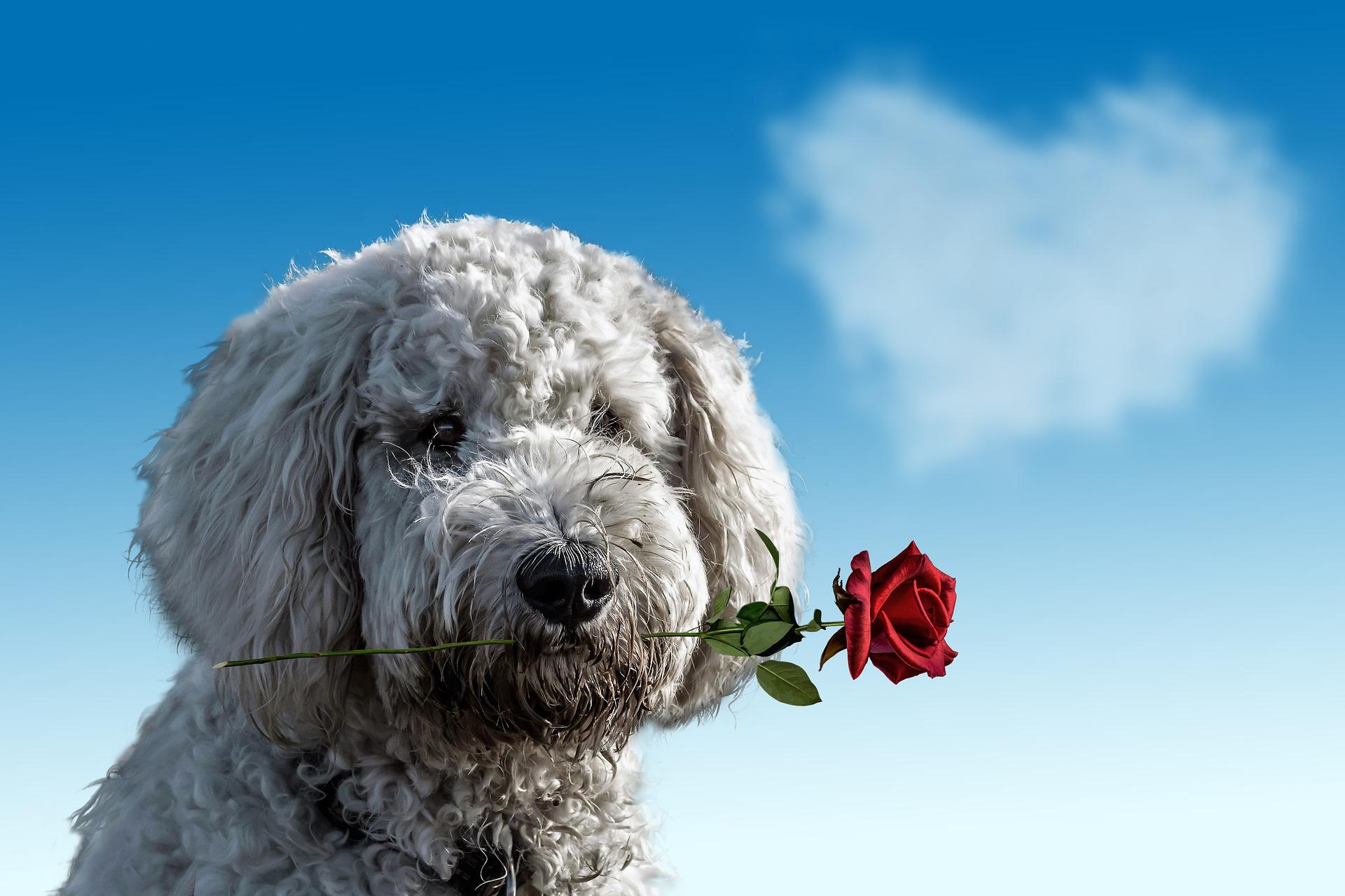 Barboncino con rosa in bocca e nuvola a forma di cuore per San Valentino