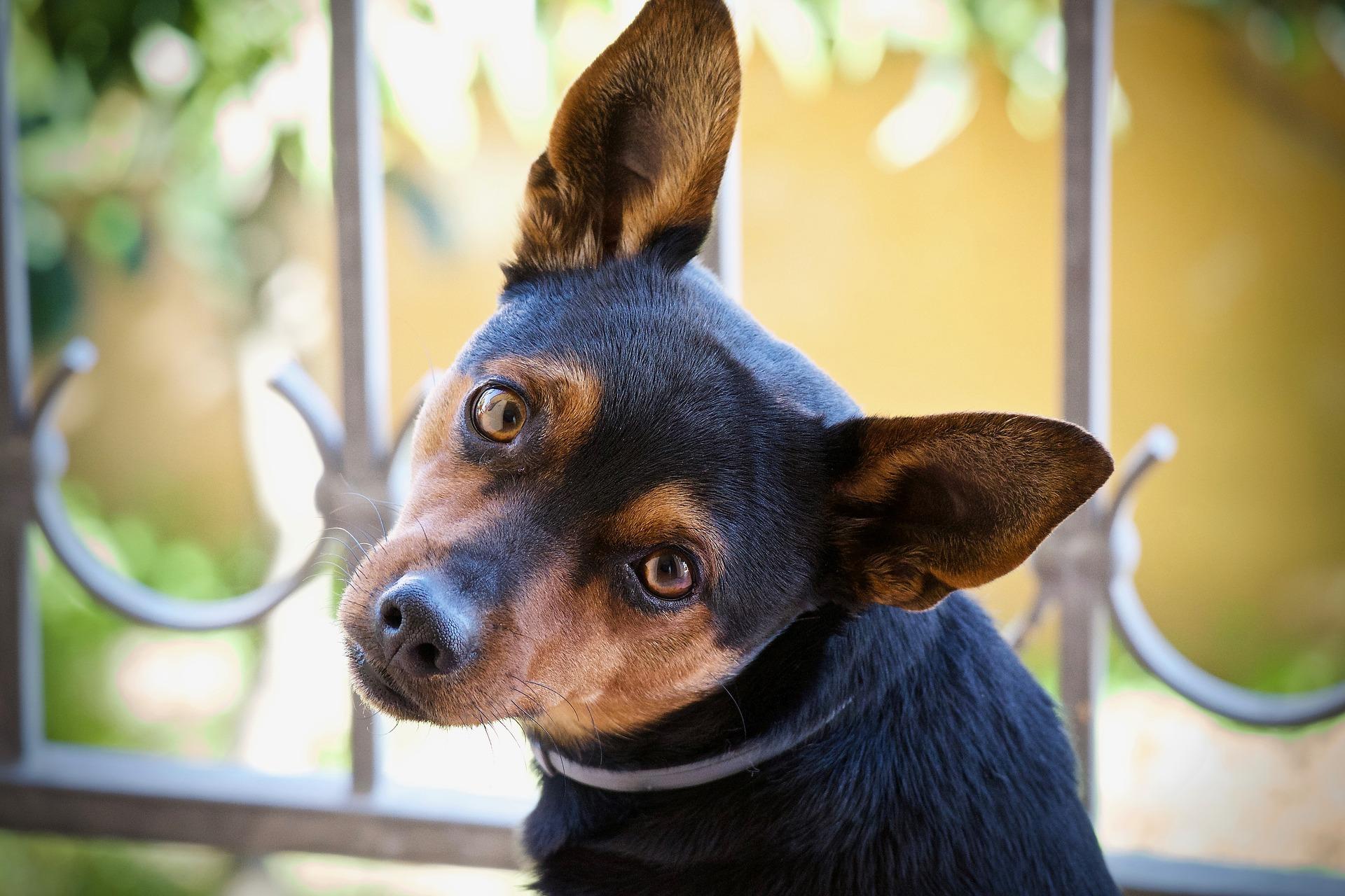 Cane di piccola taglia con orecchie grandi