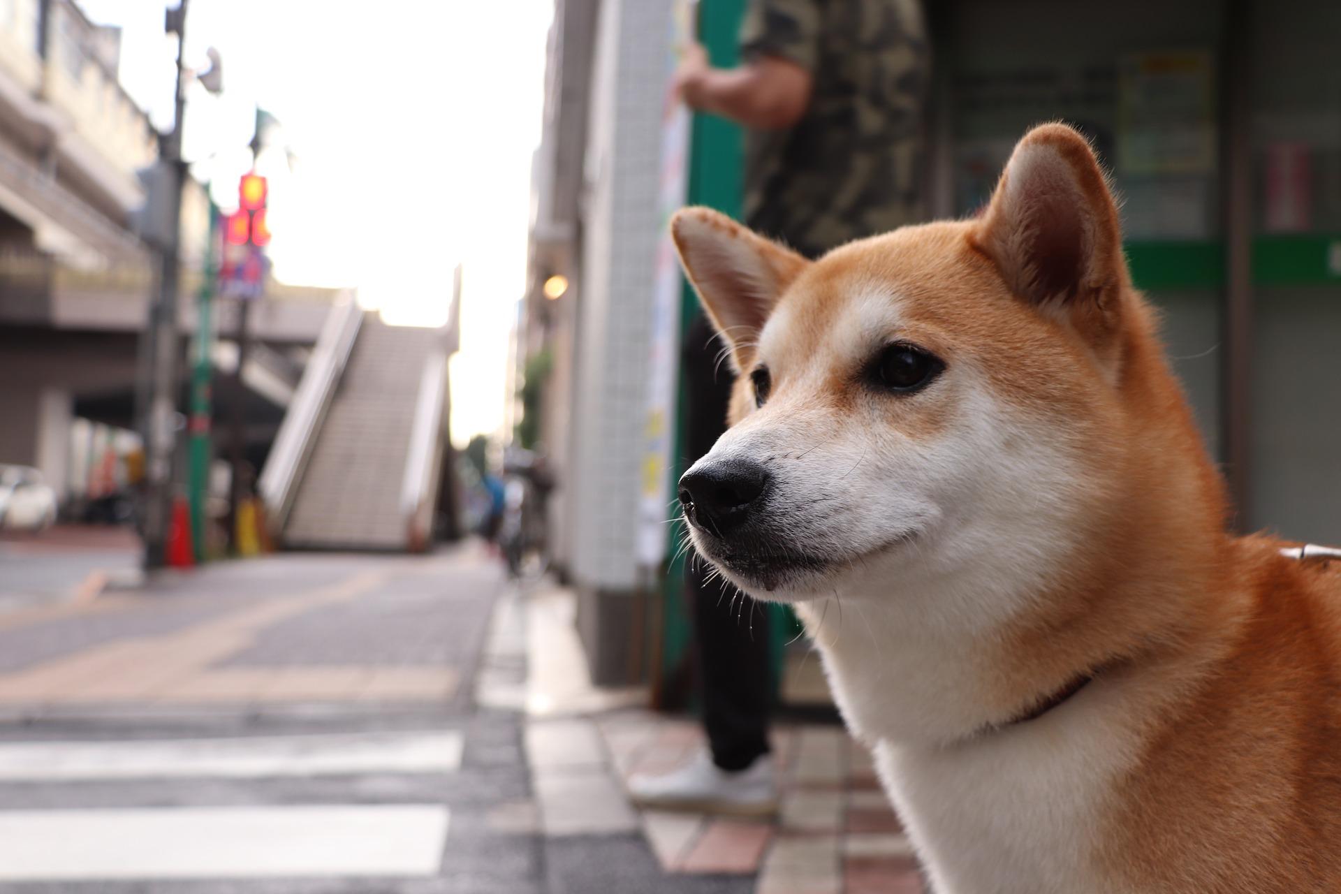 Shiba Inu cane come Hachiko
