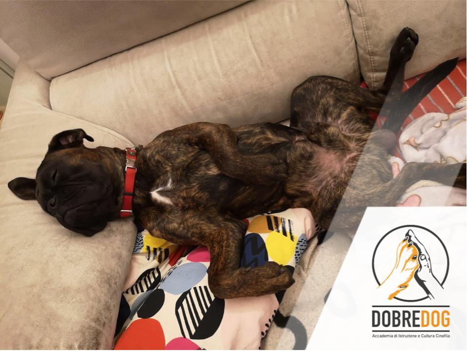 Cane, boxer che dorme a pancia in su