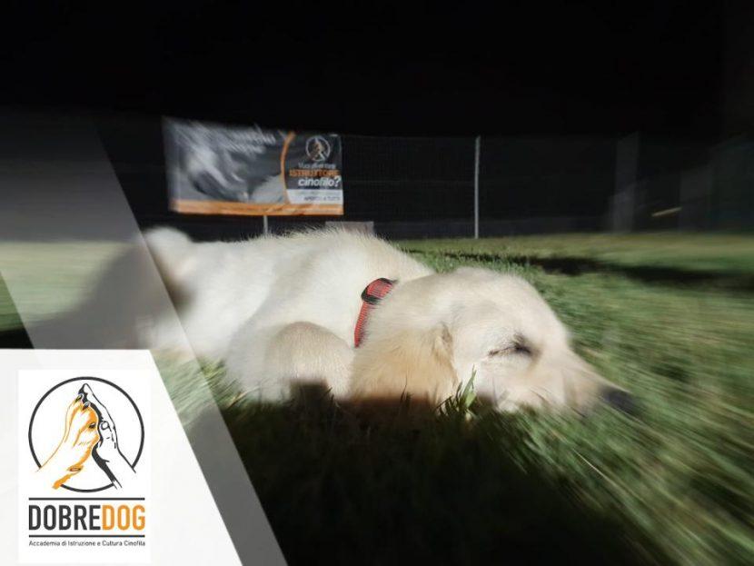 Cucciolo di Golde Retriever al Centro Cinofilo Dobredog di Pisa