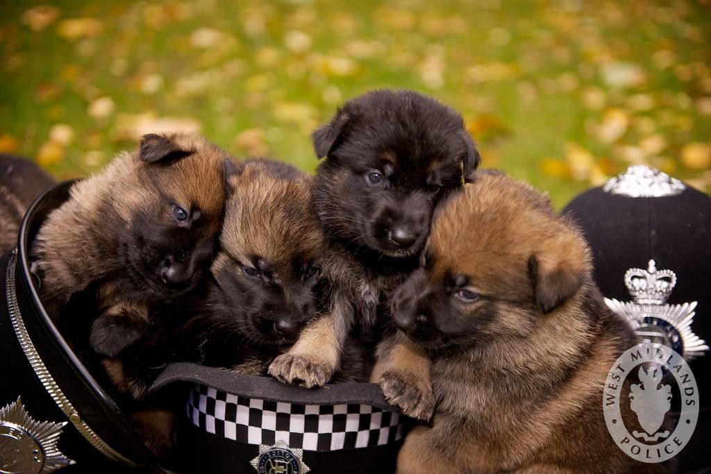 Cuccioli di cane poliziotto